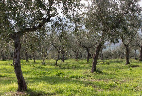 L'olivicoltura e la strada dell'olio Dop Umbria