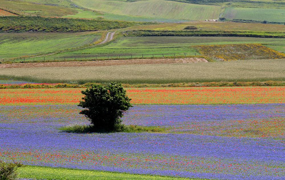 Castelluccio - Fiorita