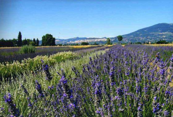 Festa della lavanda di Assisi