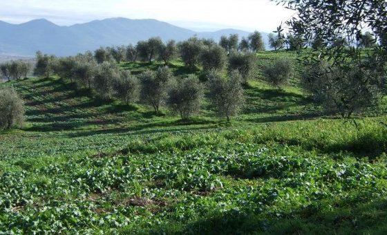 L'olivo, skyline dell'Umbria