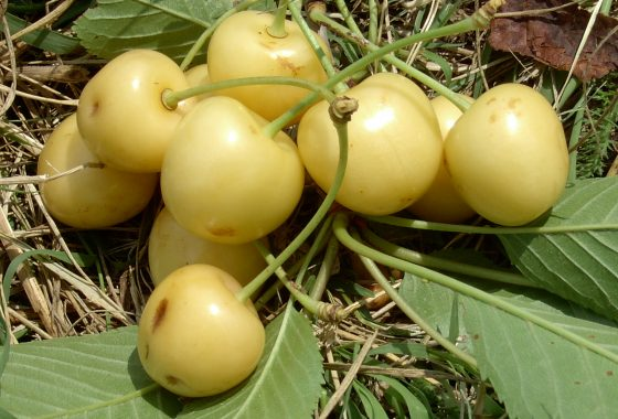 Storia della ciliegia limona