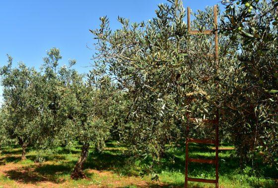 L'olivo per la vita